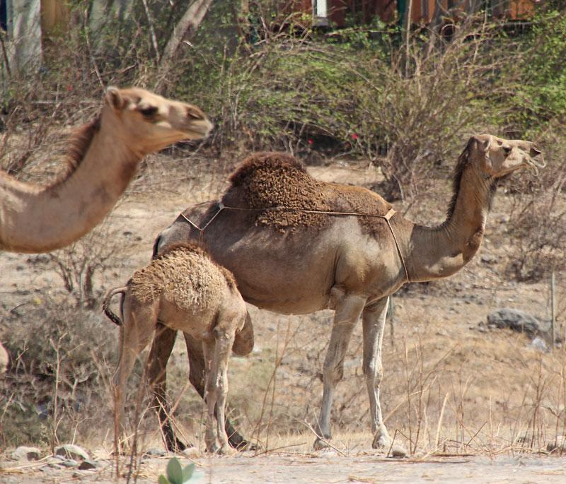 Bild 11 Kamele auf der Straße, auf dem Weg zu Hiobs Grab