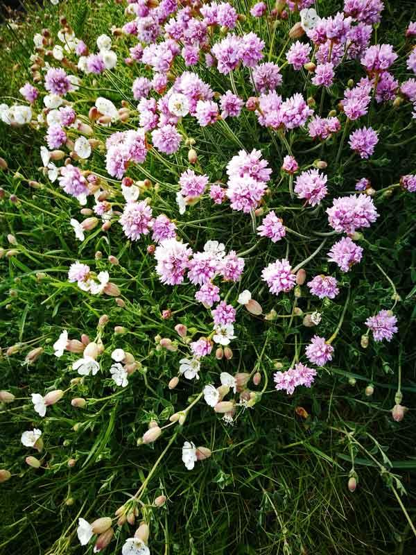 Bild 21 Blumen auf der Wanderung zum Leuchturm von Cap Gris Nez und entlang der Klippen