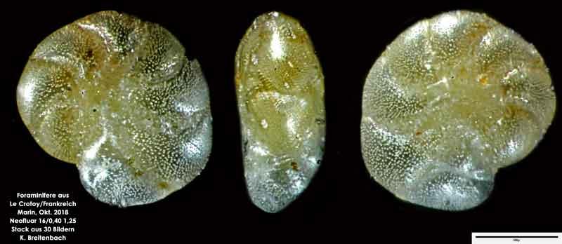 Bild 22 Foraminifere aus Le Crotoy Frankreich. Gattung: Haynesina sp