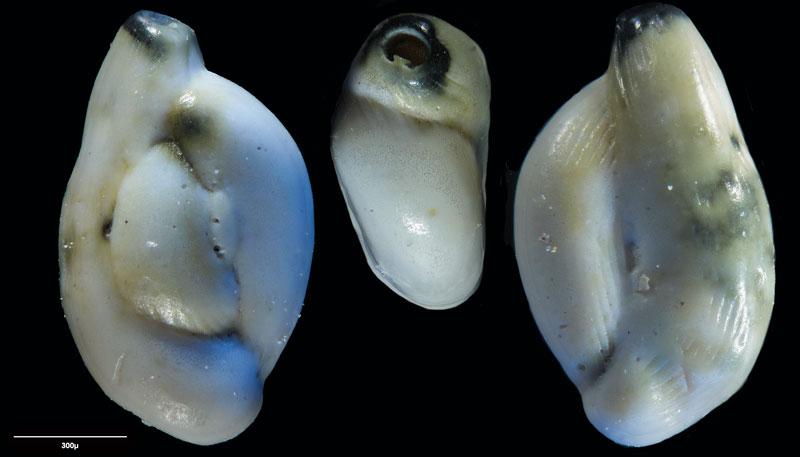 """Bild 22 Foraminifere aus Sand vom Lido in Venedig. Art: Quinqueloculina seminulum (Linnaeus, 1758), Koordinaten: 45°24'49.1""""N 12°22'42.0""""E"""