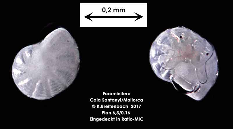 Bild 14 Foraminifere aus Mallorca Cala Santanyi, Art: Peneroplis pertusus (Forskål, 1775)
