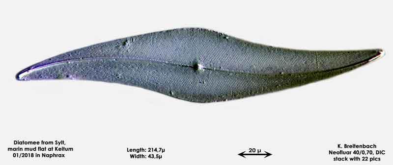 Bild 35 Diatomee aus Sylt/Keitum Watt, Art: Pleurosigma angulatum (J.T.Quekett) W.Smith 1852