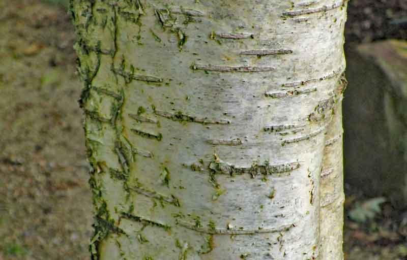 Bild 3 Gelb-Birke (Betula alleghaniensis) Stamm