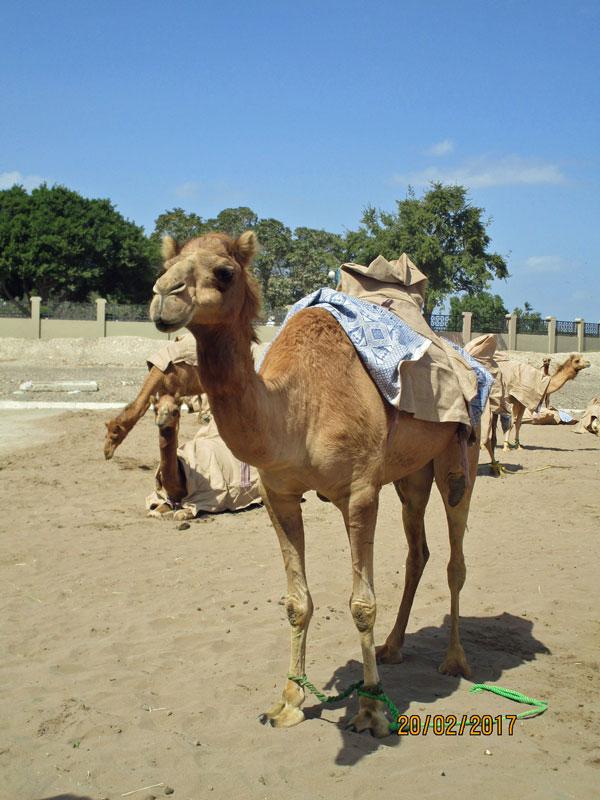 Die Kamele des Sultans