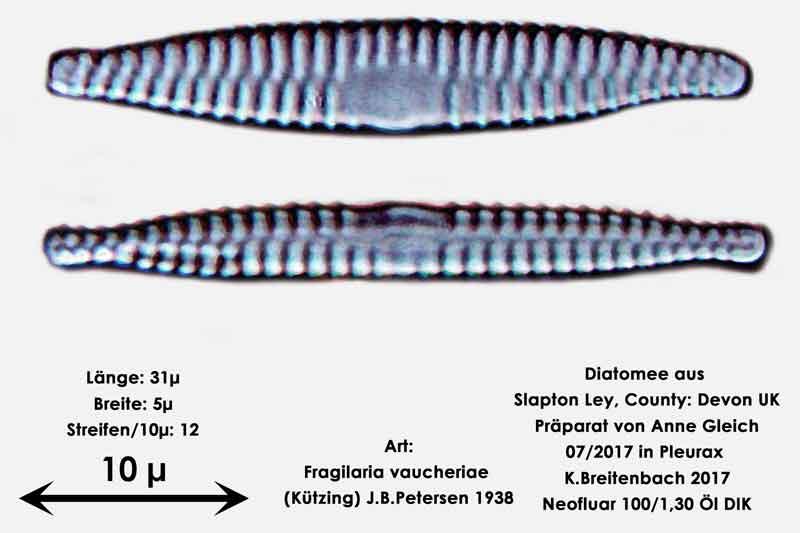 Bild 30 Diatomeen aus Slapton Ley, Devon UK; Art: Fragilaria vaucheriae (Kützing) J.B.Petersen 1938