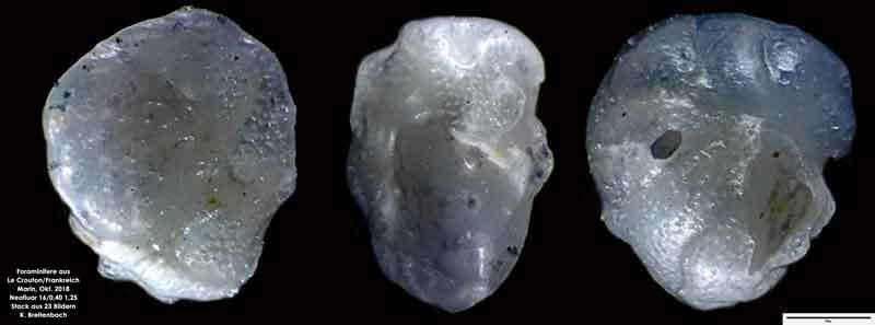 Bild 43 Foraminifere aus Le Crotoy Normandie/Frankreich. Gattung: konnte von mir nicht bestimmt werden