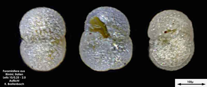 Bild 21 Foraminifere aus Strandsand aus Rimini; Gattung: Globorotalia sp.