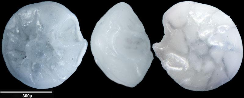 """Bild 15 Foraminifere aus Sand vom Lido in Venedig. Gattung: Ammonia sp, Koordinaten: 45°24'49.1""""N 12°22'42.0""""E"""