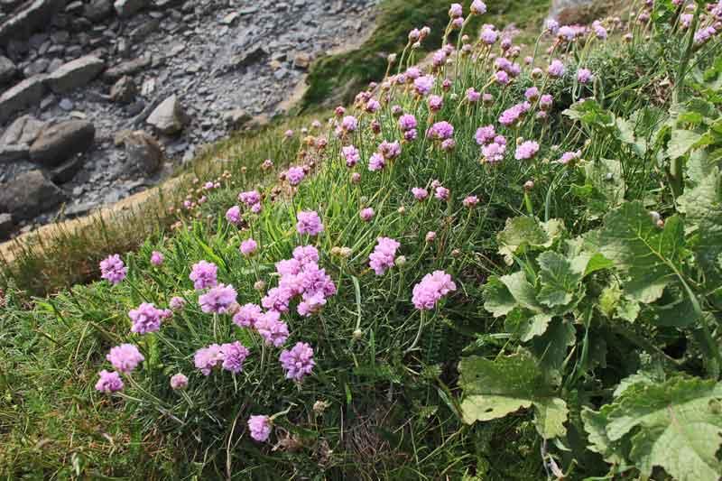 Bild 20 Blumen auf der Wanderung zum Leuchturm von Cap Gris Nez und entlang der Klippen