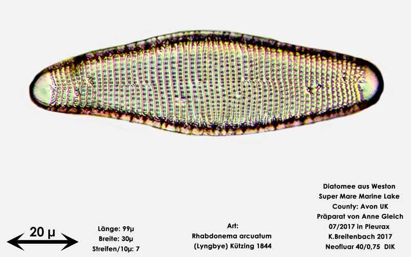 Bild 36 Diatomeen aus Weston Super Mare, UK; Art: Rhabdonema arcuatum (Lyngbye) Kützing 1844