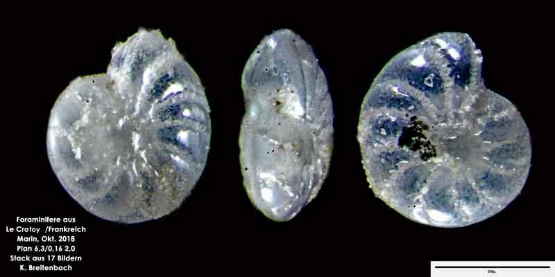 Bild 9 Foraminifere aus Le Crotoy Frankreich. Gattung: Elphidium sp