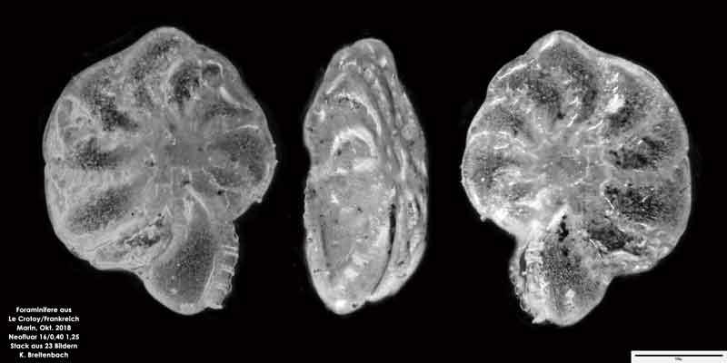 Bild 24 Foraminifere aus Le Crotoy Frankreich. Gattung: Haynesina sp