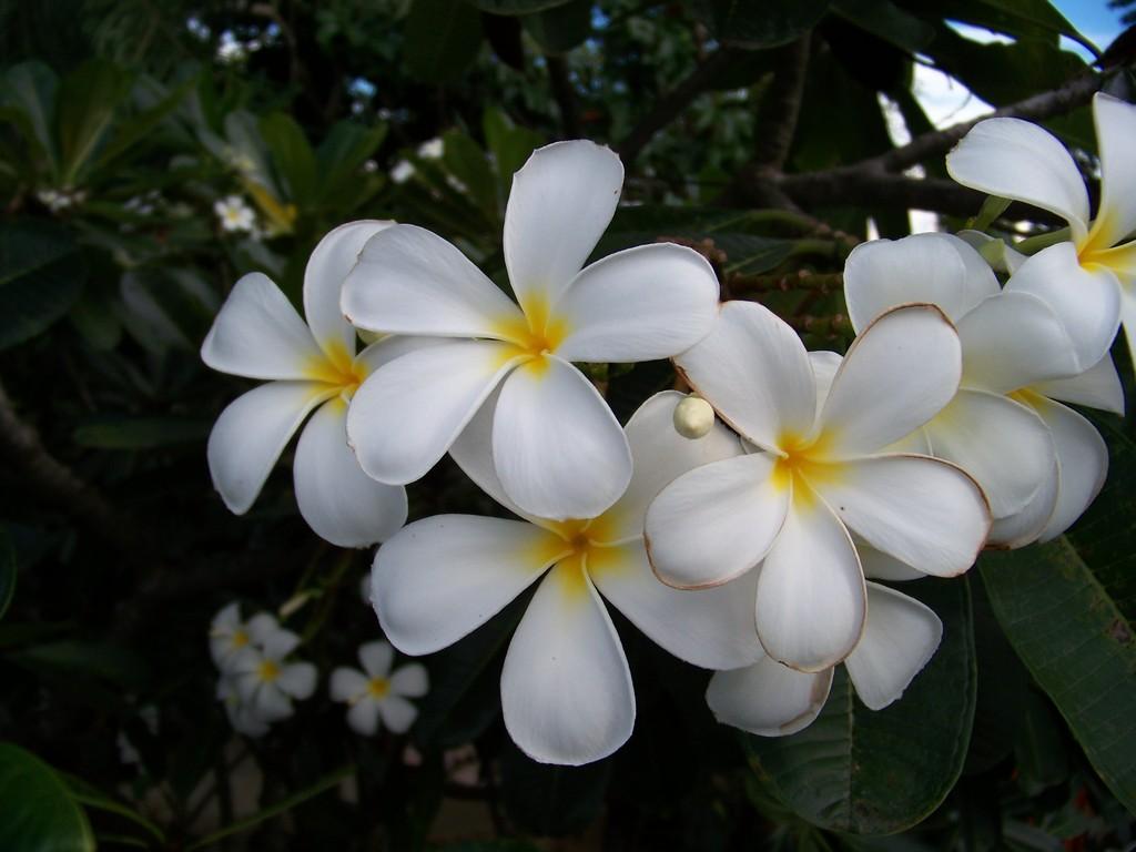 frangipanier en fleurs