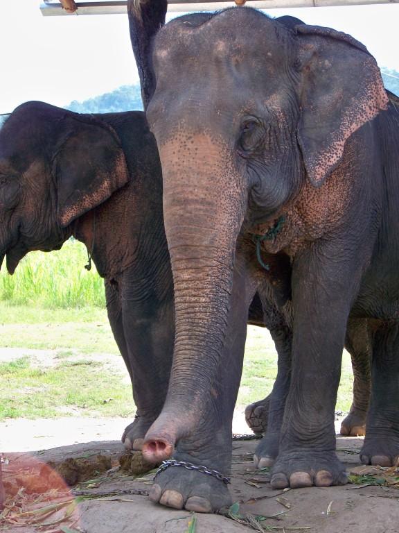 éléphants à Pai