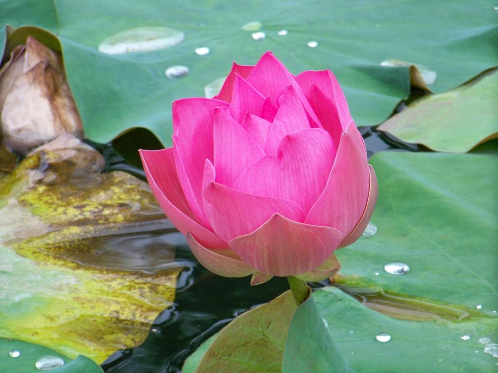 le lotus, symbole de l'éveil, région de Pai