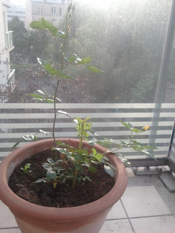 9 juin nouvelle tige environ 25 cm
