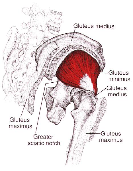 """M. glutaeus minimus -  Dieses Beschwerdebild ist vielen Patienten oft sehr bekannt. Hier sprechen wir von massiven schmerzenden Ausstrahlungen ins gesamte Bein und wird häufig als """"Ischias"""" oder Bandscheibenvorfall diagnostiziert. Meist können wir jedoch"""