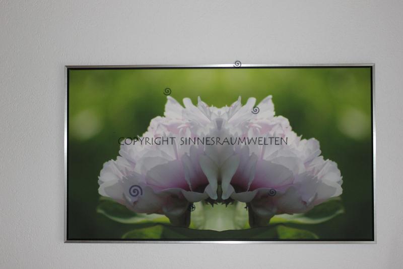 pfingstrose, kraftbild, leinwand-print gerahmt 150x85