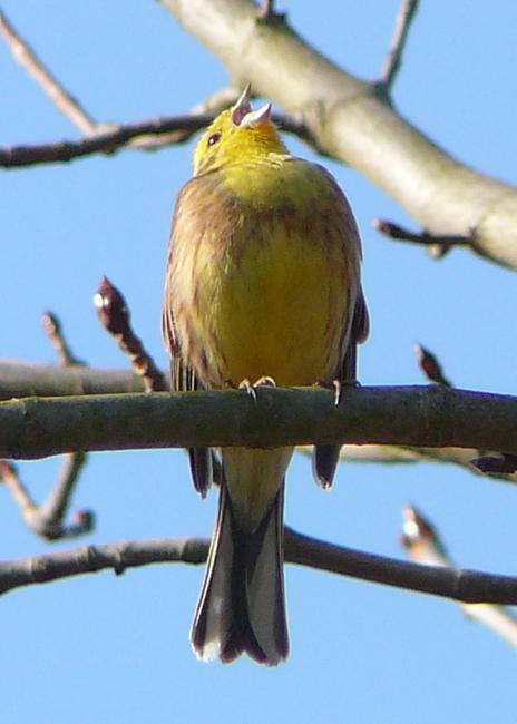 singende Goldammer          < Foto: H.Kapp