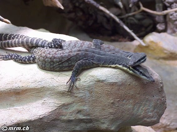 Shinisaurus Terrarium Krokodilschwanzechse Bachlaufterrarium