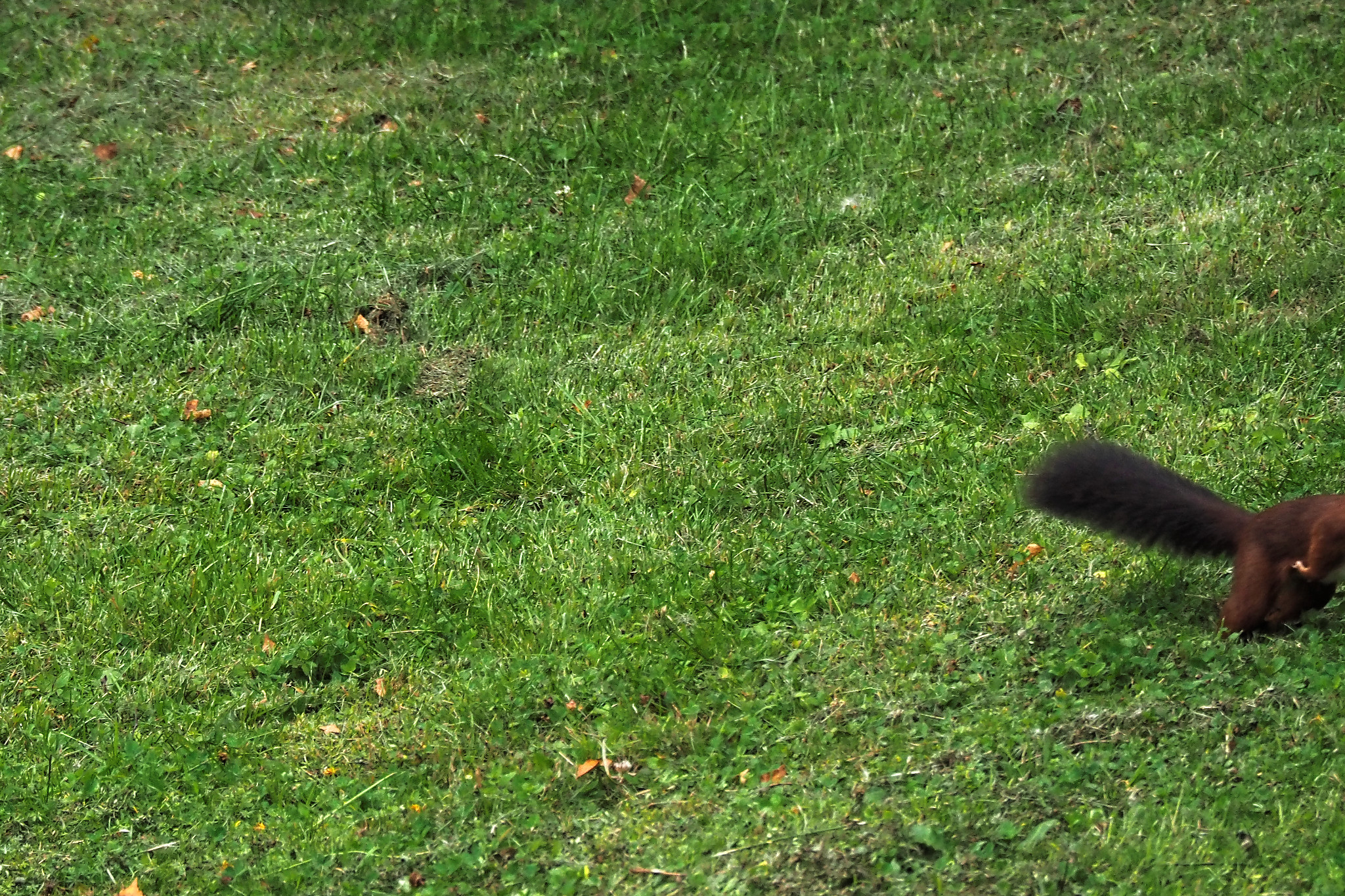 Squirrels in the garden of Woody End     - Photographer : A. Stélandre