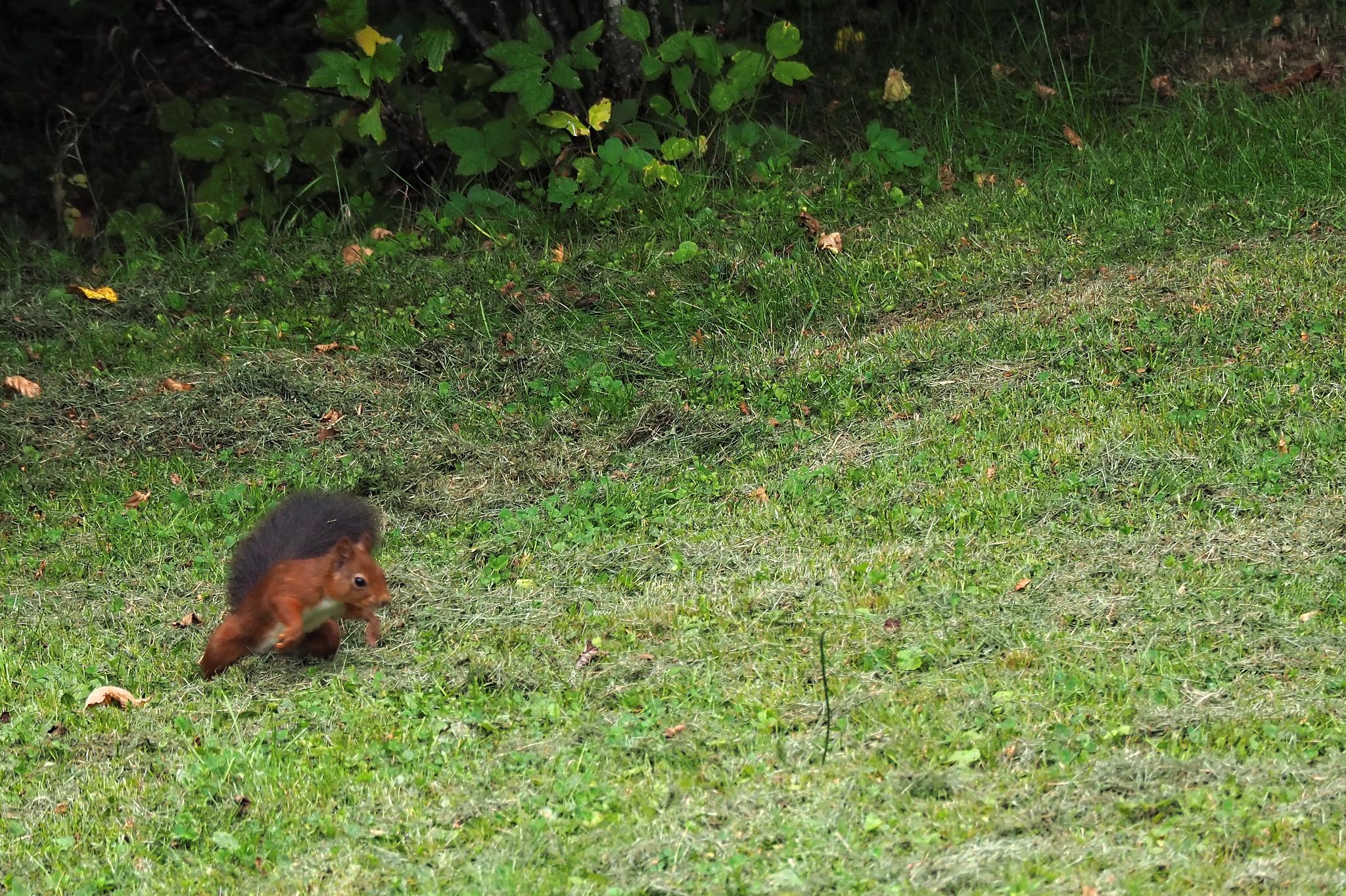 Ecureils au jardin du Bout des bois - Photographe : A. Stélandre
