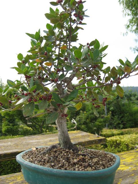 I nostri bonsai - bonsai prebonsai economico bomboniere mondolfo ...