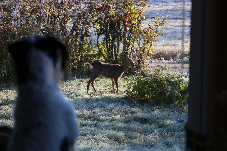 Während wir frühstücken, klaut Bambi Äpfel im Garten