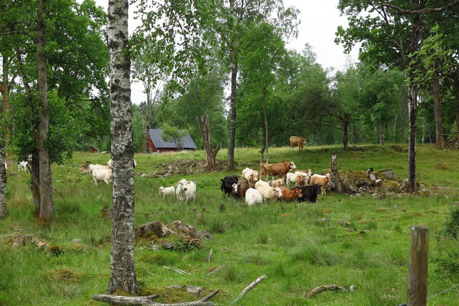 ...und viel Vieh...