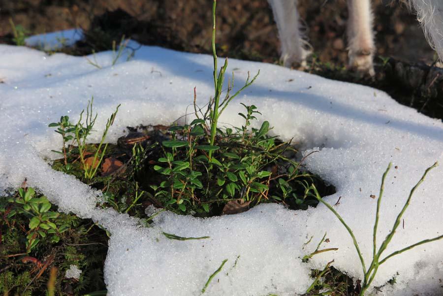 Preiselbeeren im Schneekleid