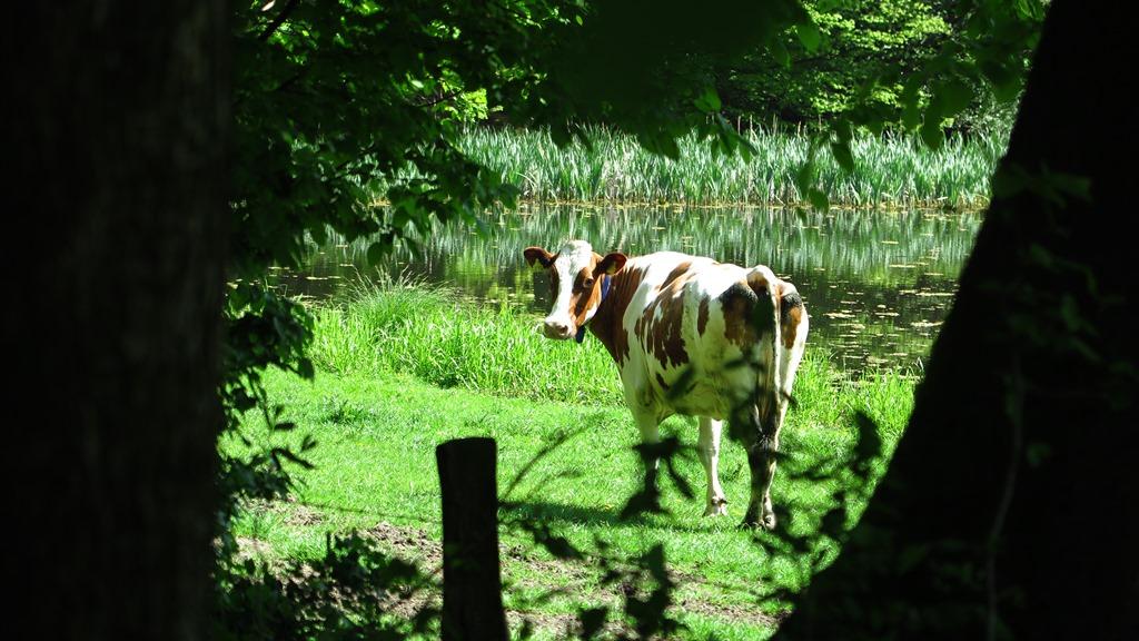 ...und mitten im Wald - Kühe...