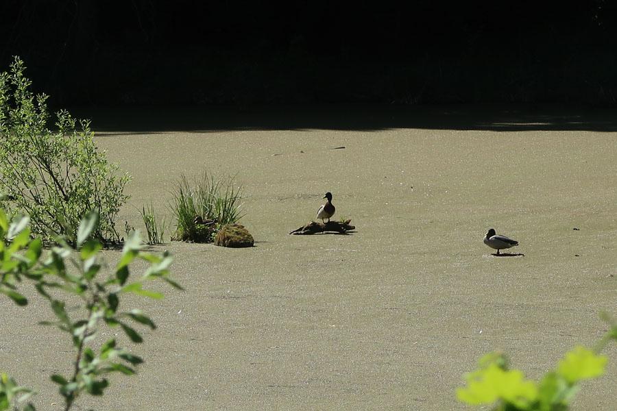 Bei uns können die Enten sogar auf dem Wasser laufen :-)