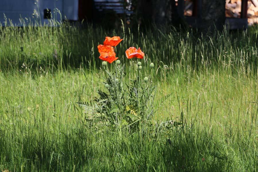 Der Mohn blüht im wilden Garten