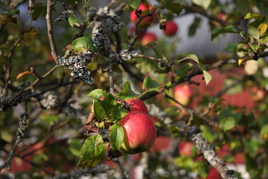 Und unsere Äpfel waren auch reif