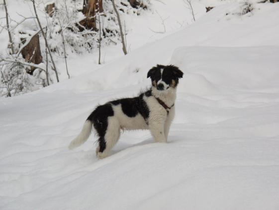 Rico 4 Monate alt - Border Collie-Appenzeller-Mix