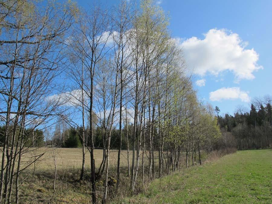 Die Birken kriegen gerade Blätter