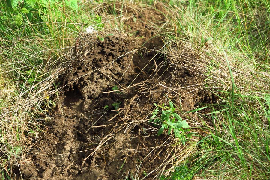 Diesen Ameisenhaufen habe ich versteckt auf dem Grundstück entdeckt und hab nach Mäusen geguckt