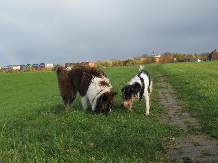 Gemeinsames Schnüffeln nach Schafsch...