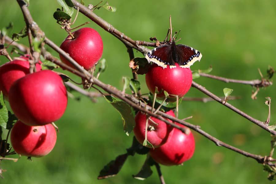 Unsere Äpfel sind auch reif...