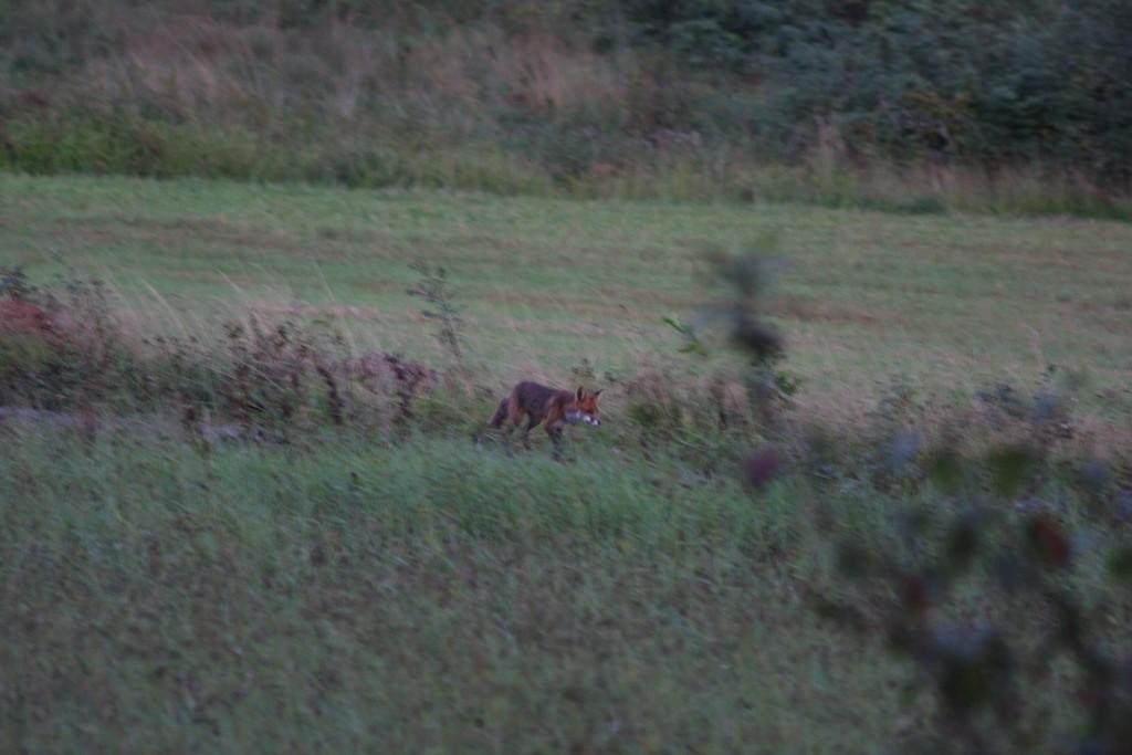 Dann kam der Fuchs des Weges...