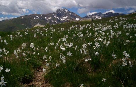 Monte Cucco - Narcisi
