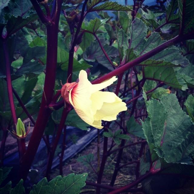 赤オクラの花はひっそりとやわらかにわらひかける