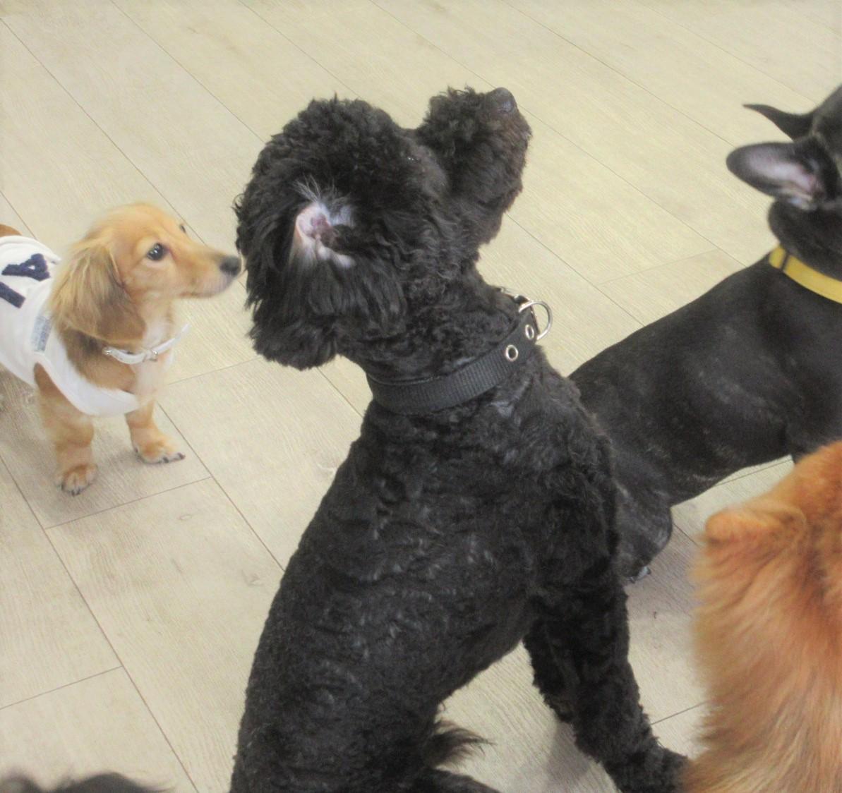 ムーミンくん(ムーくん)・犬の保育園Baby・犬・犬のしつけ・犬の社会化