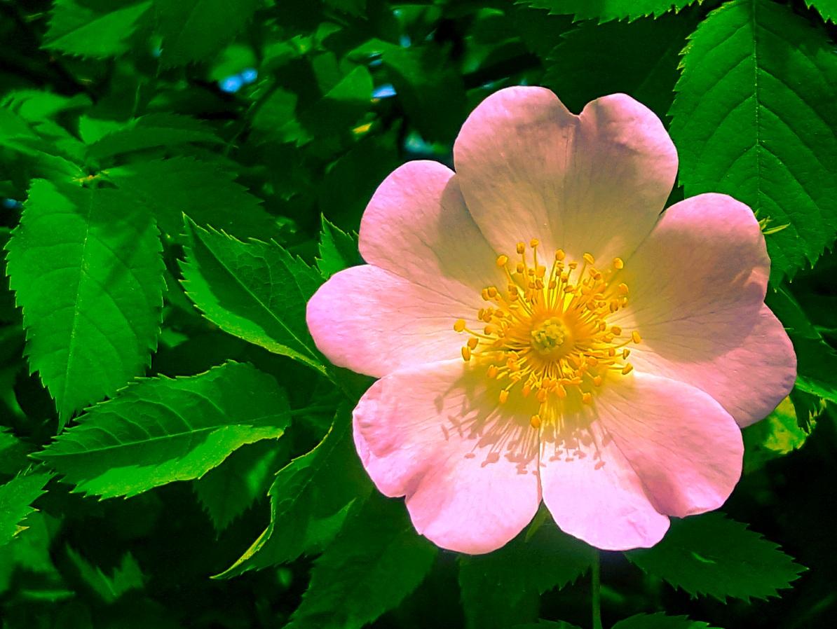 Wilde Rose - Nektar des Lebens