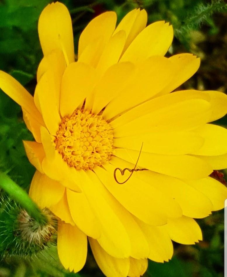 Die Goldblume