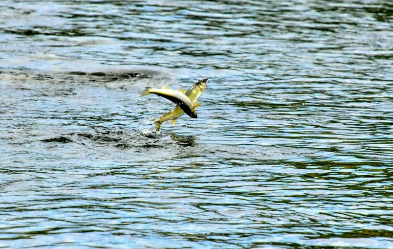 多摩川の鮎