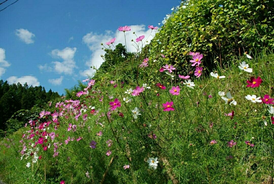 コスモスと青い空、福島県鮫川村