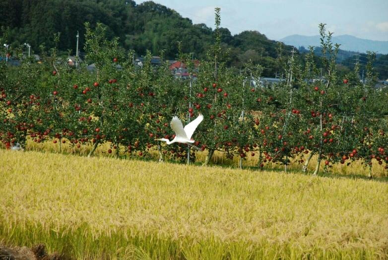 実の秋と白鷺、小布施近郊