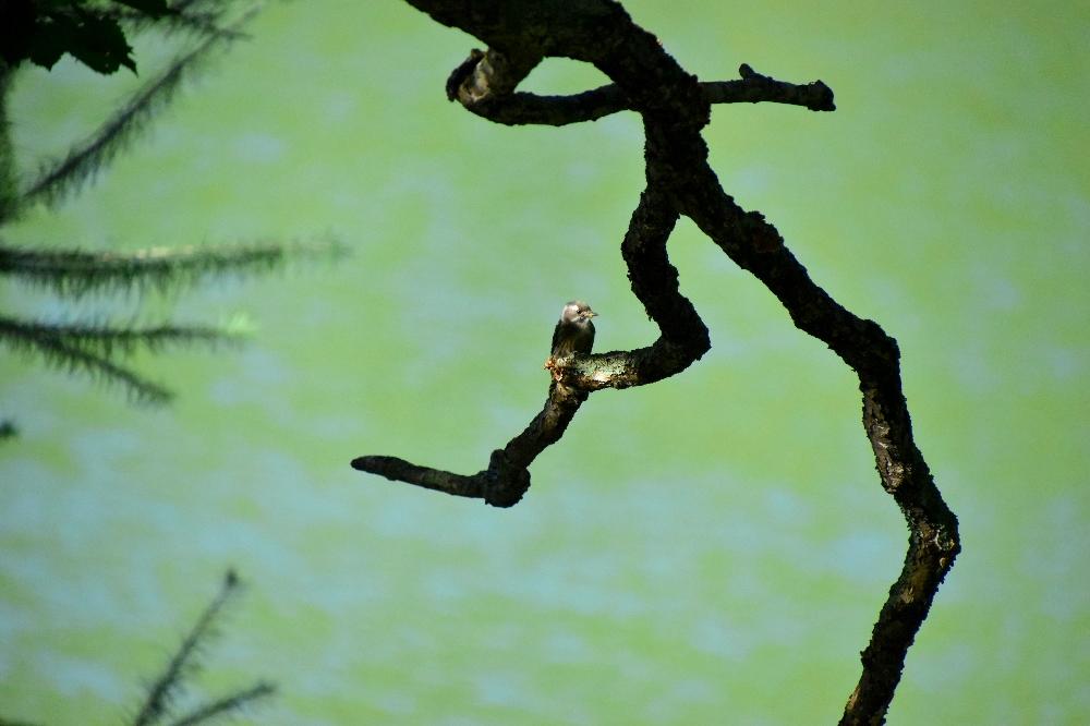 びわ池のコゲラ
