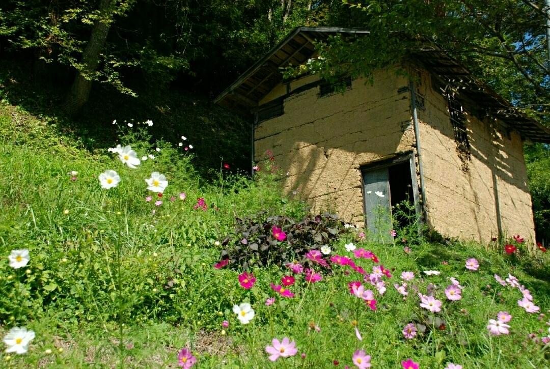 コスモスと廃屋、福島県鮫川村